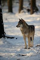 Gray Wolf, Canis lupus / Europäischer Wolf , Canis lupus