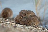 Common voles Microtus arvalis / Microtus arvensis huddling together on dyke and seeking refuge at spring tide near the Wadden Sea, the Netherlands