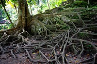 Balinese tree with many roots