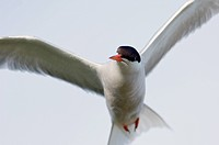 Tern in fligt.