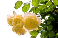 Scented yellow old rose Buff Beauty
