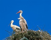 White Stork, ciconia ciconia, Pair standing on Nest