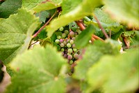 Grape details growing in vineyard field