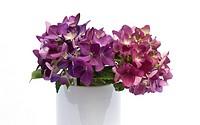 Purple Hydrangeas in a vase