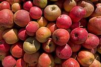 Pile of fallen apples for the production of fruit juice, Hesbaye, Belgium