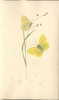 Brimstone butterfly. This artwork, by the British entomologist and illustrator John Curtis 1791_1862, is from ´British Entomology´. This 16_volume wor...