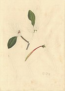Yellow mangrove tree Ceriops tagal flowers. Drawing by Sydney Parkinson made during Captain James Cooks first voyage 1768_1771. Held in the Botany Lib...