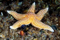 Common starfish Asterias rubens. The common starfish preys on other echinoderms, worms and molluscs. It is widespread in the north_east Atlantic and i...