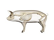 Horse anatomy. Computer artwork showing the skeletal system of a domesticated pig Sus scrofa domestica.