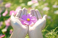 Cosmos Flower in Cupped Hands