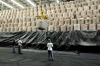 Biofuel production. Workers stacking bags of sugar produced at a biofuel and sugar cane factory. This factory produces sugar from sugar cane and uses ...