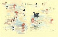 Aquatic birds. Artwork of aquatic birds including the Eurasian wigeon Anas penelope, and the common moorhen Gallinago chloropus.Illustration from ´Wat...