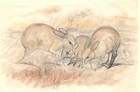 Pig_footed bandicoots Chaeropus ecaudatus, 19th century artwork.