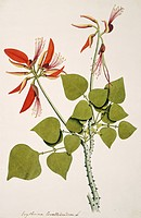 Coral bean tree Erythrina corallodendron, artwork.