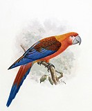 Hispaniolan macaw Ara tricolor. This artwork is plate 10 by the Dutch bird illustrator John Gerrard Keulemans 1842_1912, from ´Extinct Birds´ 1907 by ...