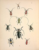 Cerambycid longhorn beetles. This artwork is plate 29 from ´Cabinet of Oriental Entomology´ 1848 by the British entomologist John Obadiah Westwood 180...