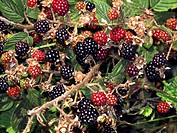 Blackberries Rubus sp. Unripe blackberries red and ripe blackberries black are the fruit of this thorny bush. Blackberries are edible when ripe, and a...