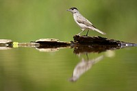 Blackcap Sylvia atricapilla adult male, standing at edge of forest pool, Hungary