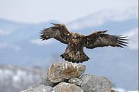 Golden Eagle Aquila chrysaetos adult, in flight, landing on rock, Carpathian Mountains, Bulgaria, winter