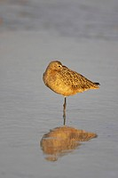 Marbled Godwit Limosa fedoa adult, winter plumage, roosting at high tide, Fort de Soto, Florida, U S A