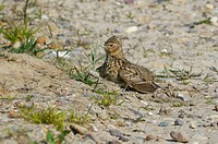 Skylark Alauda arvensis adult, dustbathing on rough track, Tipperne Reserve, Tipperne and Vaerneengene Peninsula, Jutland, Denmark, may