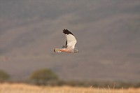 Cinereous Harrier Circus cinereus adult male, in flight, hunting over reedbeds and grasslands, Estancia Angostura, Santa Cruz, Argentina, november