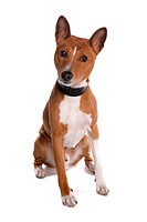 Domestic Dog, Basenji, adult male, with collar, sitting