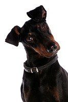 Domestic Dog, Manchester Terrier, adult male, with collar, close_up of head