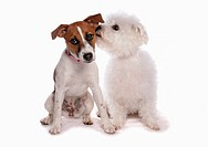 Domestic Dog, Jack Russell Terrier and Bichon Frise, two adults, sniffing ear