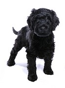 Domestic Dog, Portuguese Water Dog, puppy, standing