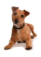 Domestic Dog, Patterdale Terrier, adult, laying, with collar