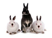 Domestic Rabbit, three adults, standing on hind legs and sitting