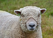 Domestic Sheep, Southdown shearling ram, close_up of head, with ear tags, Diss, Norfolk, England, august
