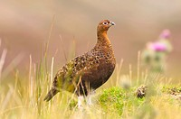 A male cock Red Grouse  Lagopus lagopus scoticus  in moorland , Yorkshire Dales , England , Uk