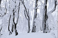 Snow covered Beech Fagus sp trees in forest, Bulgaria, winter