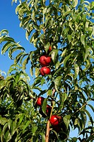 Nectarines on a tree  LLeida  Spain
