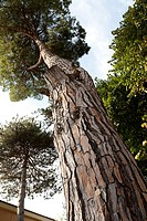 patterned trunk of pine tree looking up