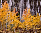 Aspen grove displays fall color and white trunks, near Skyway, Grand Mesa National Forest, Colorado, USA