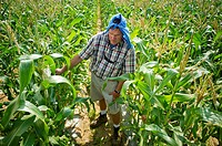 Vegetable producer inspecting corn stalks in field on farm in Queen Anne's County Maryland USA
