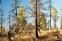 Fire-damaged and live trees in Ochoco National Forest landscape. Oregon, USA