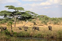 Herd of African Elephants Loxodonta africana on the move, Serengeti National Park, Tanzania
