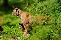 Eurasian lynx, Lynx lynx Alte Fasssanerie, Hanau, Hesse, Germany, Europe