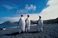 Australia, subantarctic Macquarie Island. King penguins.
