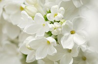 Detail of white Lilac flowers, Selective Focus, Close_up, Studio Shot