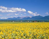 Tokachi Mountains and Flower Field of Sunflower, Kamifurano, Hokkaido, Japan