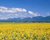 Tokachi Mountains and Flower Field of Sunflower, Kamifurano, Hokkaido, Japan