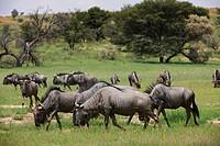 blue wildebeest, Connochaetes taurinus