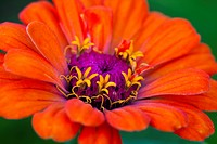 Orange zinnia flower with purple centre