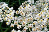 White Achillea The Pearl Flowers Macro