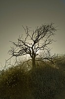 Barren Tree, Griffith Park, Los Angeles